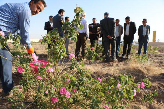 آغاز برداشت ۴۰ تن گل محمدی در رفسنجان / عکس
