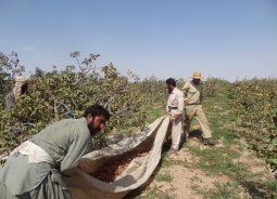 350 هزار کارگر کار برداشت پسته در رفسنجان را انجام می دهند