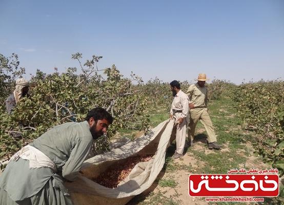 کارگران برداشت پسته در رفسنجان