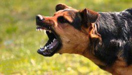 زنگ خطر بیماری مرگبار هاری در پی جولان سگ های ولگرد در سطح شهرها