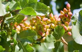 سالانه ۶۰۰ تن سم در باغات رفسنجان مصرف می شود