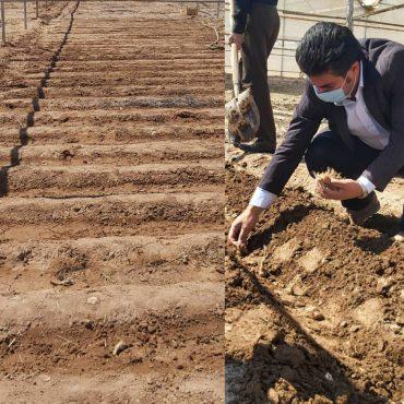 احداث مزرعه تحقیقاتی کاشت و تولید زعفران در دانشگاه پیام نور رفسنجان/ تصاویر