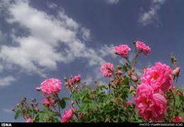 برداشت ۵ تن گل محمدی در رفسنجان