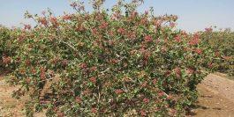 کرونا و چالشهای فصل برداشت پسته در رفسنجان/از حضور متکدیان پاکستانی تا کارگران فصلی