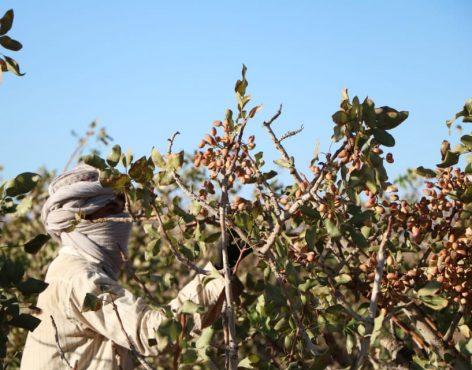 فصل برداشت پسته در رفسنجان به روایت تصویر